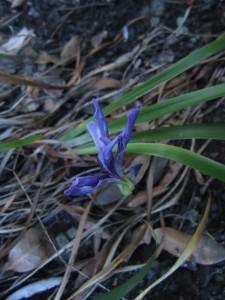 Iris, Iris douglasiana