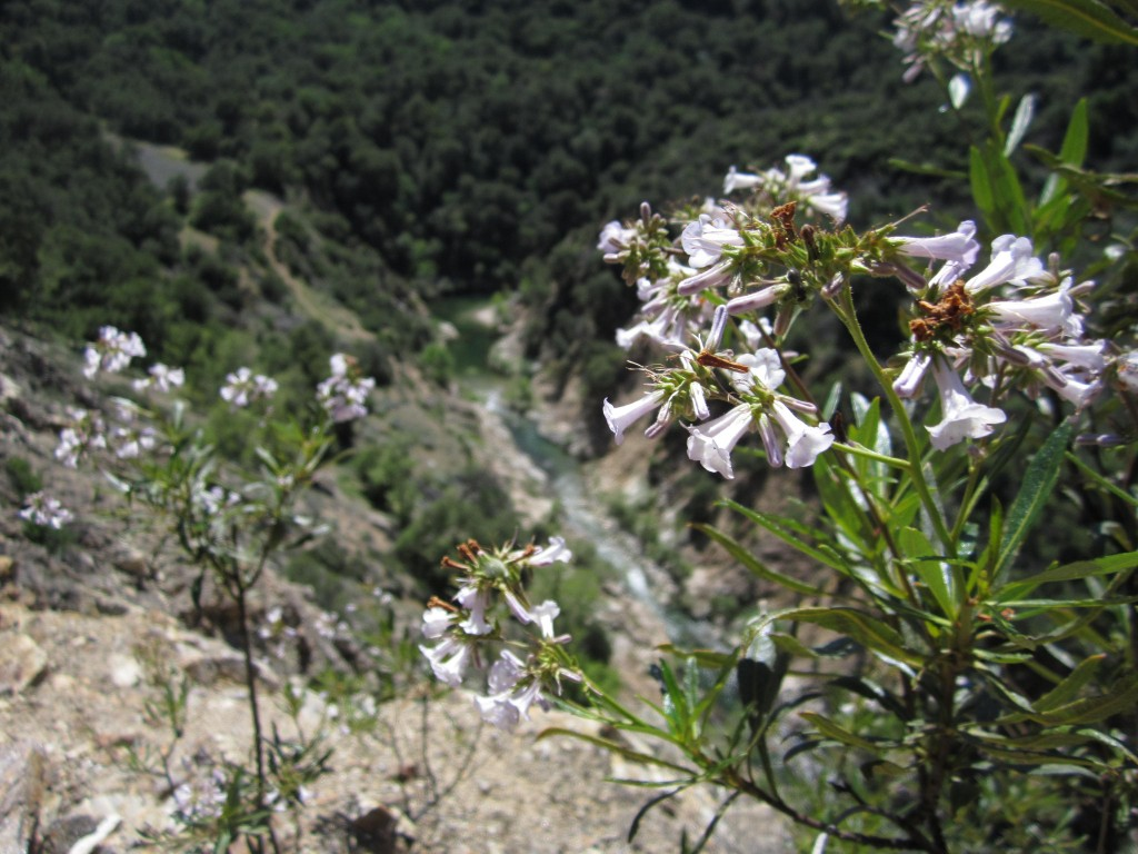 Yerba Santa, Eriodictyon californicum