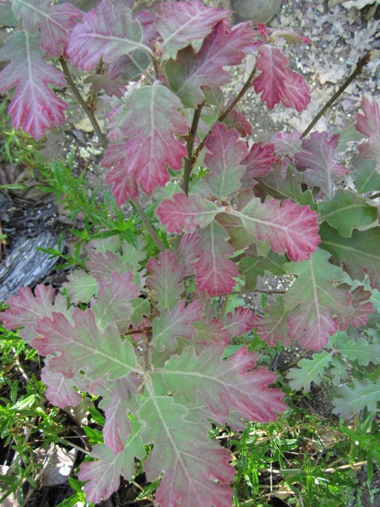 Young black oak leaves, Quercus kelloggii