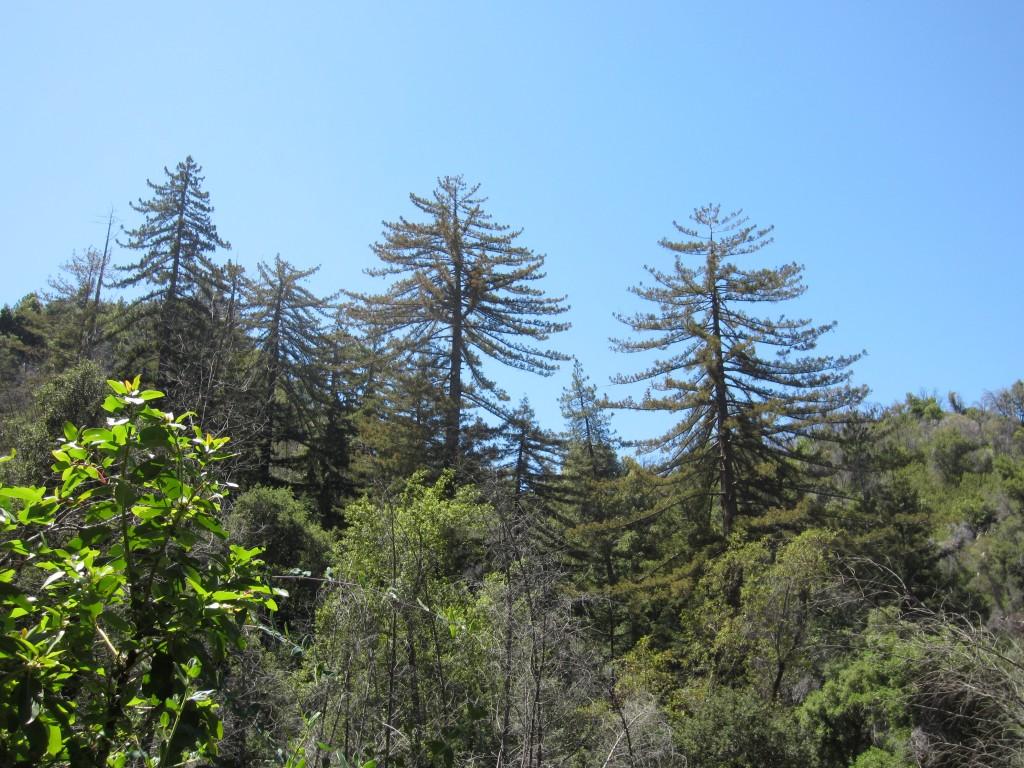 Redwoods of the un-named creek