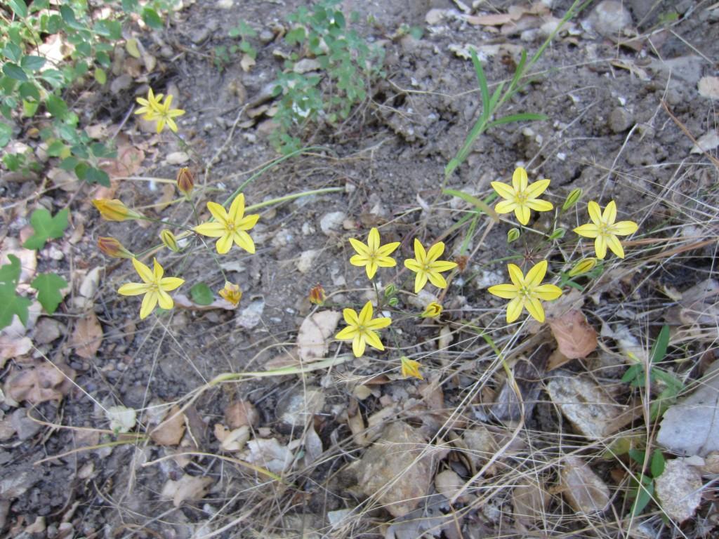 Yellow brodiaea, Triteleia crocea