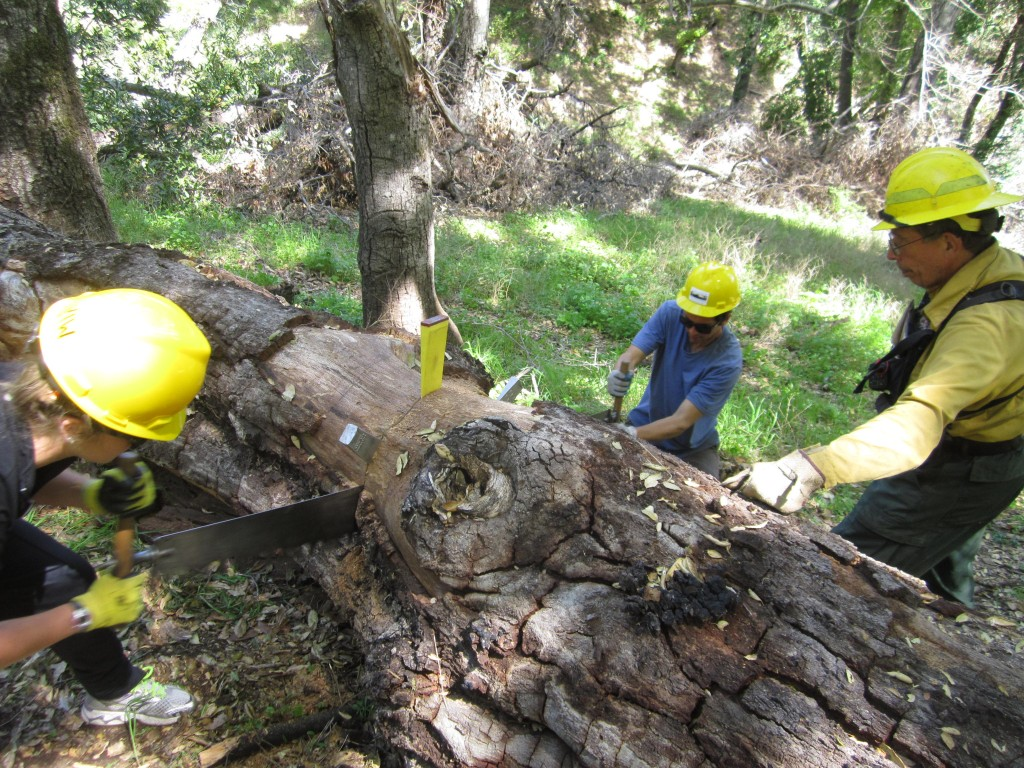 Students from Azusa Pacific University work the cross cut saw while Trail Crew Leader Mike Heard looks on.