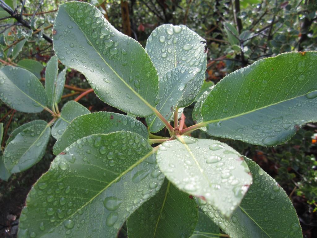 Wet madrona leaves n sunlight